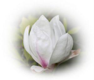 Bild på Magnolia