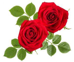Bild på två rosor