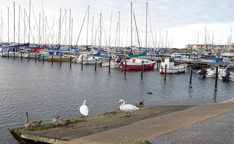Bild på Svanfamilj och segelbåtar
